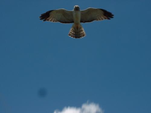 diving-hawk