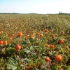 cloudberry-field-copy