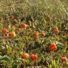 cloudberry-tall